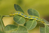 Cloudless Sulphur butterfly Phoebis sennae caterpillar on a branch