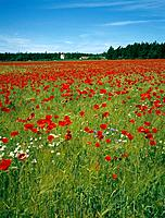 Poppies on barley field