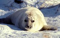 Grey seal