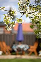 Cherry_blossom in garden