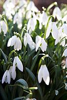 Snowdrops, springtime, Sweden