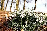 Snowdrops , springtime , Sweden