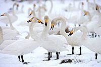 Swans \\Cygnus cygnus
