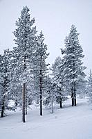 Pinetrees in winterland