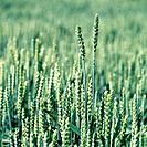 Two wheat ears