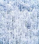 Forest with hoarfrost