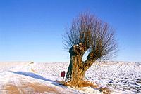 Willow on field in winter