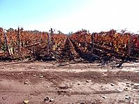 argentina mendoza grapevine plantation fields