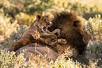Africa, Botswana, Adult male lion Panthera leo and cub