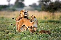 Africa, Botswana, African Lion Panthera leo Lioness Panthera leo and cubs