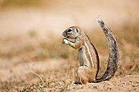 Africa, Botswana, African ground squirrel Xerus rutilus
