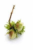 Unripe hazelnuts with twig