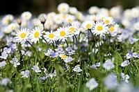 Germany, Bavaria, Wild daisies Asteraceae, close_up