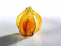 Physalis with husk