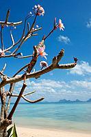 Thailand, Ko Hai Island, Blossoming Tree