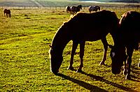 horses having pasture in the morning light