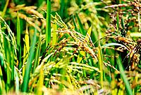 cereal rice grains plantation
