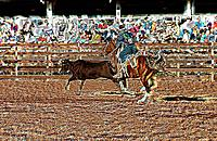 a rodeo image with a cowboy and a cow ox
