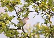 Garden Warbler _ sitting on branch / Sylvia borin