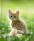 Maine Coon kitten _ sitting on meadow restrictions: Tierratgeber_Bücher / animal guidebooks