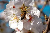 Honeybee (Apis mellifera) on plum tree flower