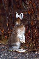 Snowshoe Hare, Lepus americanus, Denali, national park, USA, America, United States, North America, Alaska, Fall, Autu