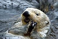 Sea otter, Enhydra lutris, Water, 1, otter, Animal, Animals, Wildlife, Fauna, Nature, North America
