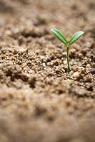 Seedling growing in soil