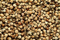 dried seeds of the Medicinal plant Chaste berry, Caste tree, Vitex agnus_castus,