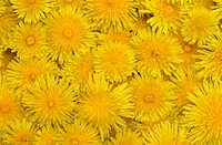 Medicinal plant dandelion, common dandelion, taraxum officinale, leontodon officinale