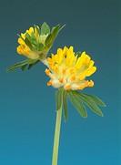 medicinal plant Common Kineyvetch, Kidney Vetch, Ladie´s Fingers, Woundwort, Anthyllis vulneraria
