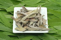 medicinal plant Common Sage, Sage, Salvia officinalis
