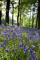 Bluebells along the forest floor