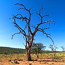Dead tree, Namibia, Africa
