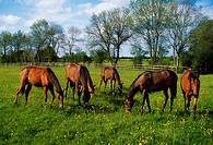 Thoroughbred Horses, Yearlings, Ireland