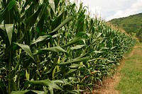 Plantation of Corn, BR116 Among Gramado and Nova Petrópolis, Rio Grande do Sul, Brazil