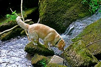 Golden Retriever at stream, Monbach valley, Bad Liebenzell, Baden_Wurttemberg, Germany