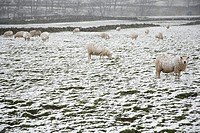 Sheep on snow covered field