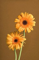 Close_up of orange daisies