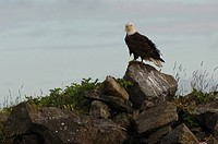 Eagle perched on rock, Wild Pacific Trail, Vancouver Island, Canada