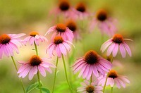 Purple Echinacea Flowers in Field
