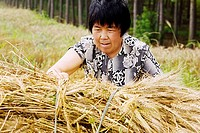 Farmer collecting bundles of wheat stalk in a field, Zhigou, Shandong Province, China
