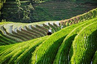 High angle view of terraced rice fields, Jinkeng Terraced Field, Guangxi Province, China (thumbnail)