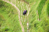 High angle view of a person working in a rice field, Jinkeng Terraced Field, Guangxi Province, China