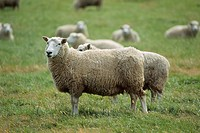 New Zealand _ South Island _ Sheep