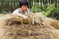 Farmer collecting bundles of wheat stalk, Zhigou, Shandong Province, China