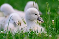 Close_up of Mute swan Cygnus olor cygnets in grass