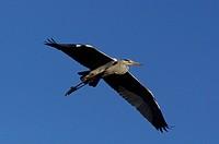 grey heron, ardea cinerea, maremma park