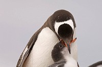 Antarctica, Antarctic Peninsula, Lemaire Channel, Petermann Island, Gentoo Penguins.