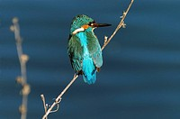 A Common Kingfisher (Alcedo atthis) wintering on Crete, Greece